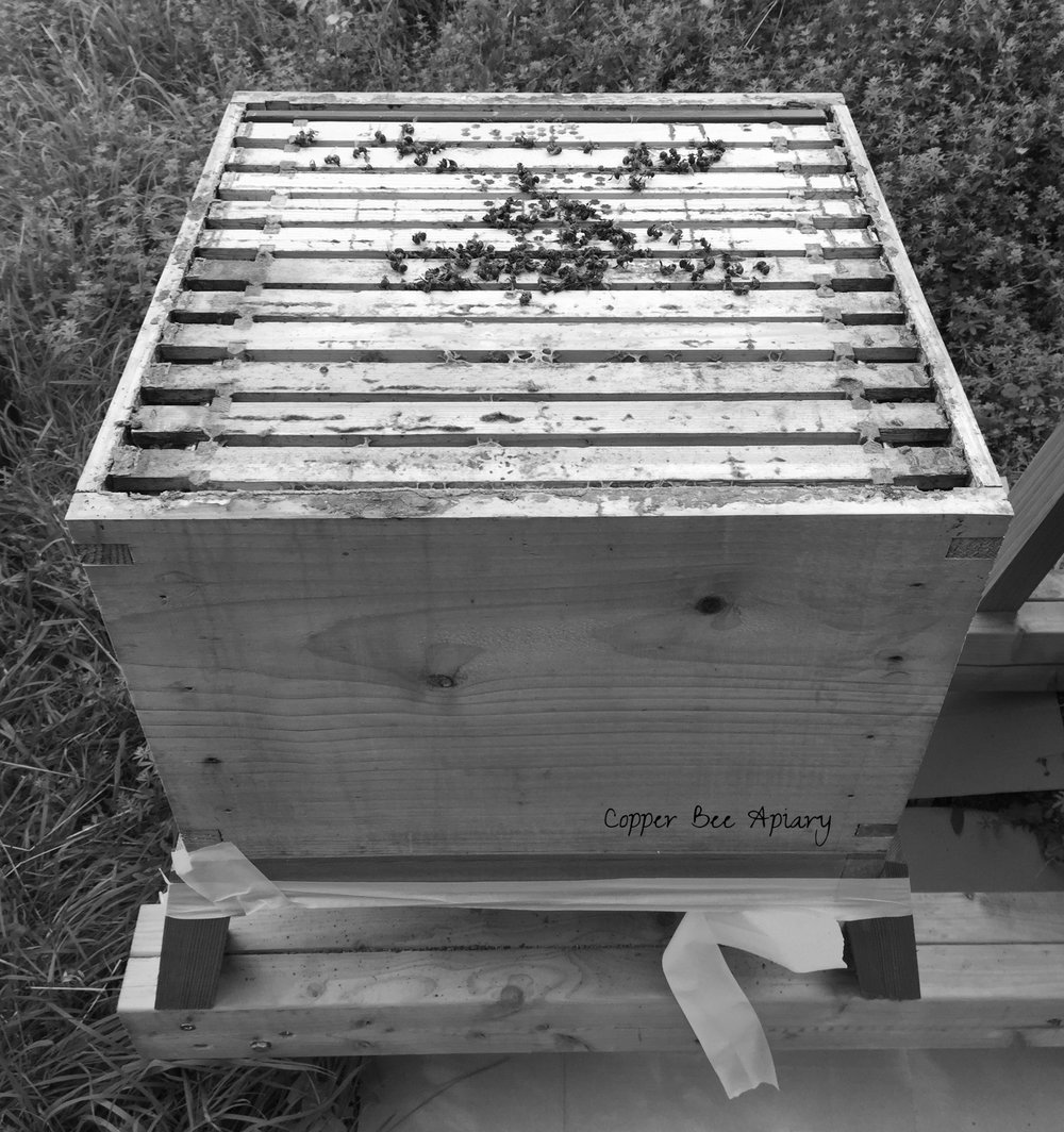 In Queen Storm's hive, dead bees are still on the frames…