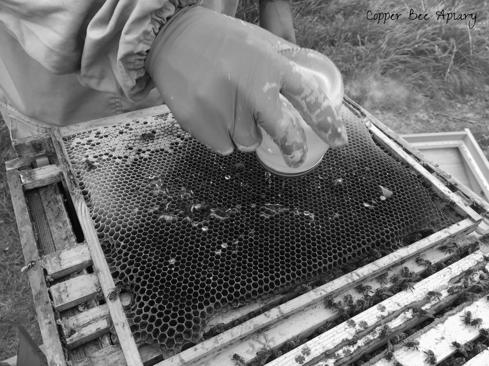 Syrup is shaken from the jar over the horizontal empty frame and gently patted into the cells. The lid has to come off to get the last bit out. The dosed frame is then inserted back into the brood box. Bees are already falling on it with enthusiasm. They eagerly drink the laced syrup. We close up the hive and leave the antibiotic to do its work.