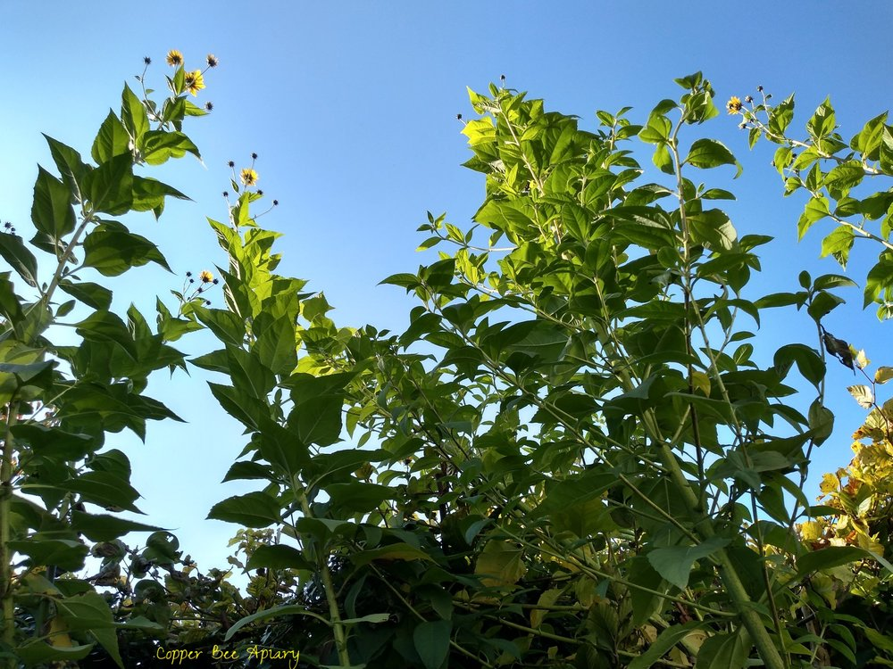 Tall new Jerusalem artichokes, towering over the hedge