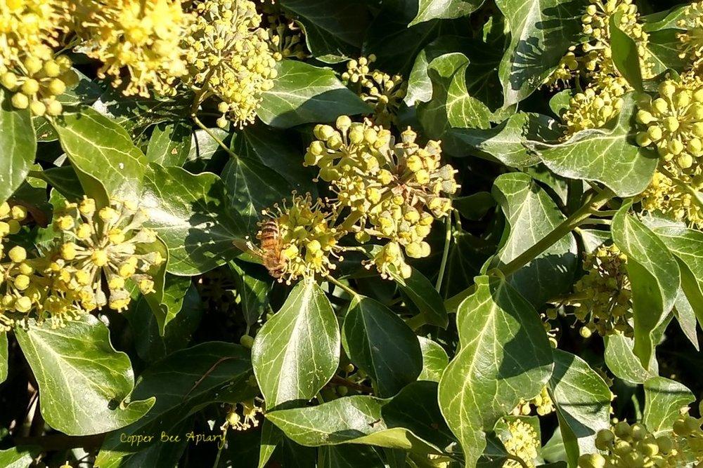 Honey bee on ivy