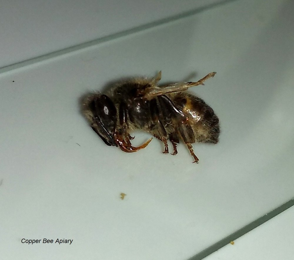Bee dying of DWV