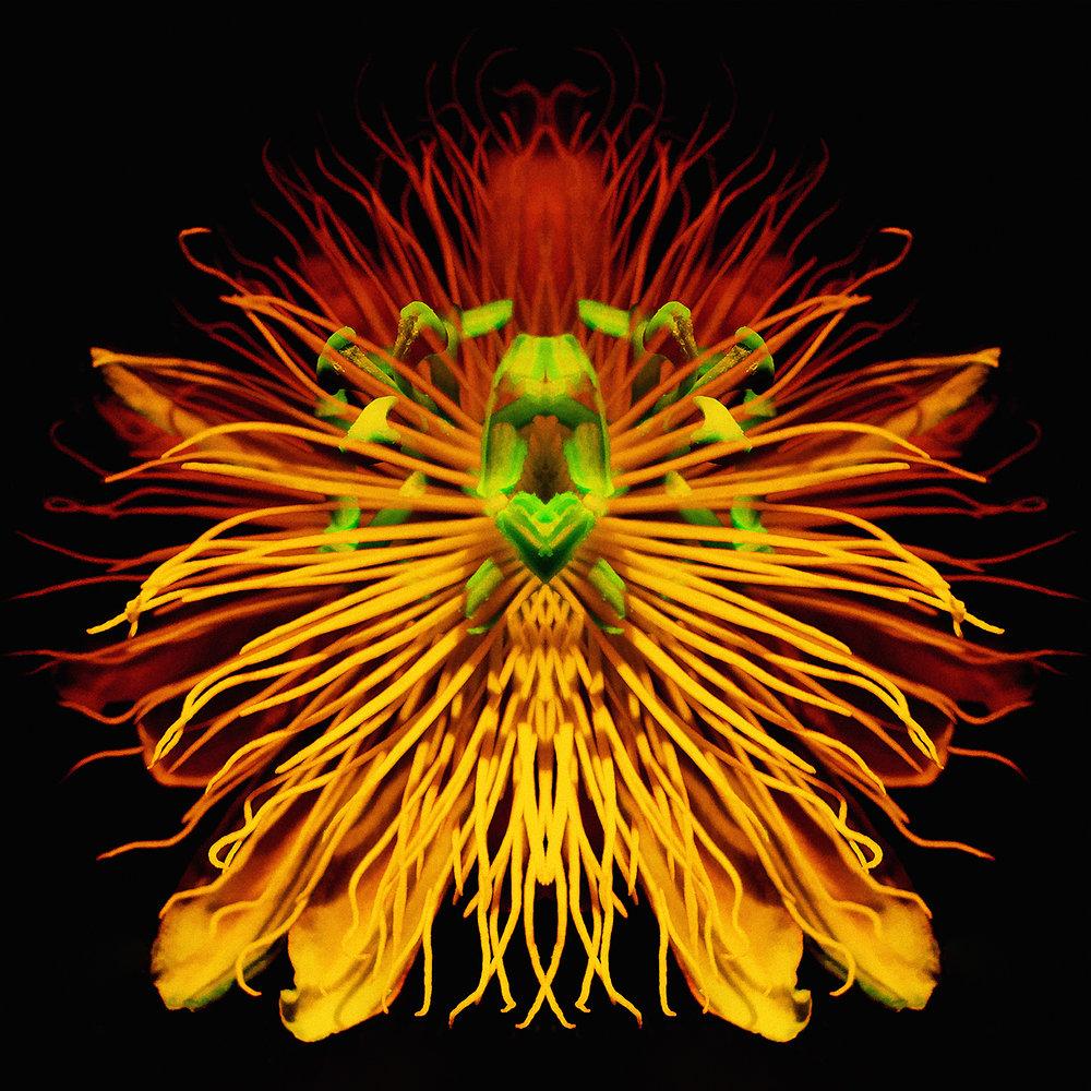 Passiflora | Lion