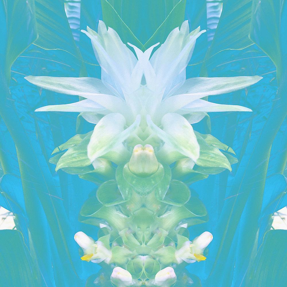 Waterlily Ginger | White Maiden