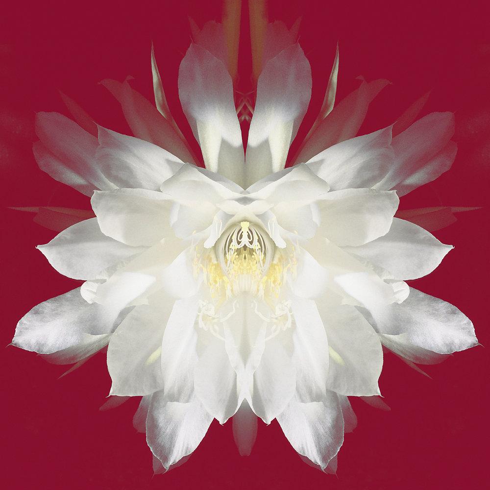 Epiphyllum | White on Red
