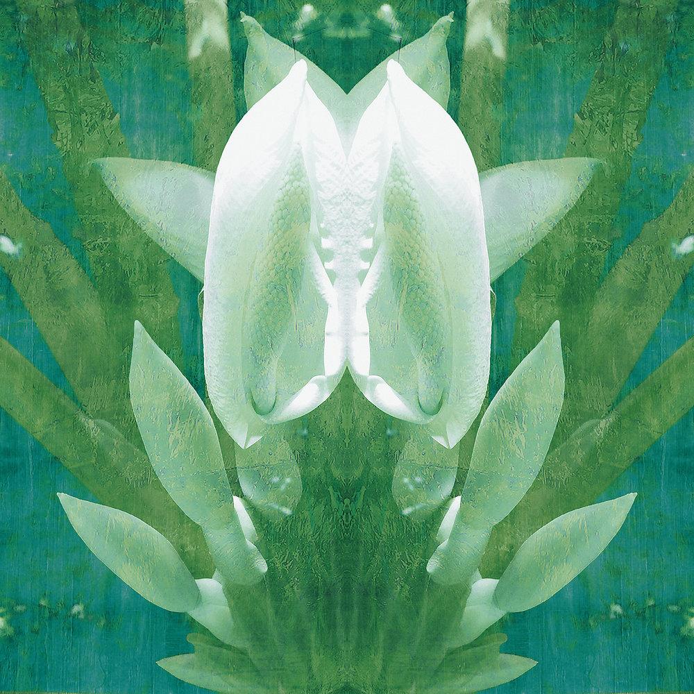 Colocasia Thai Giant | Siamese Twins