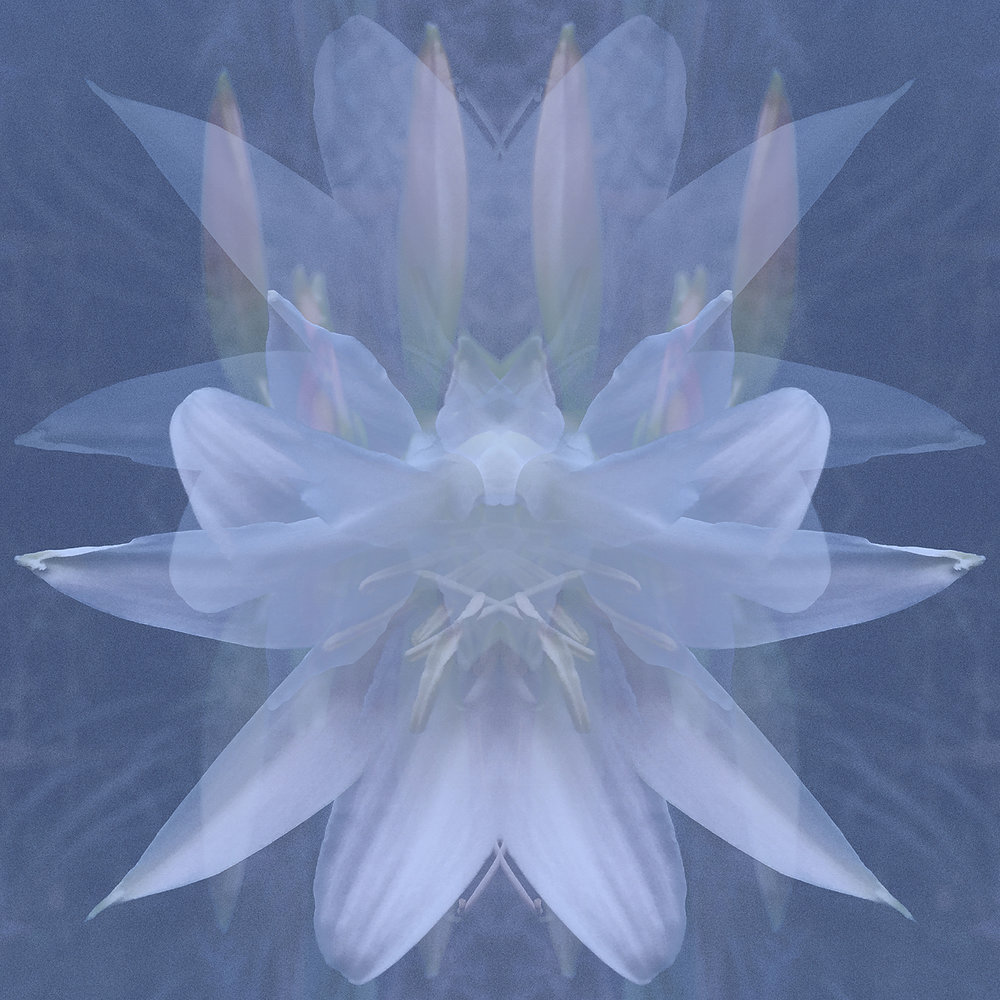 Crinum Blue