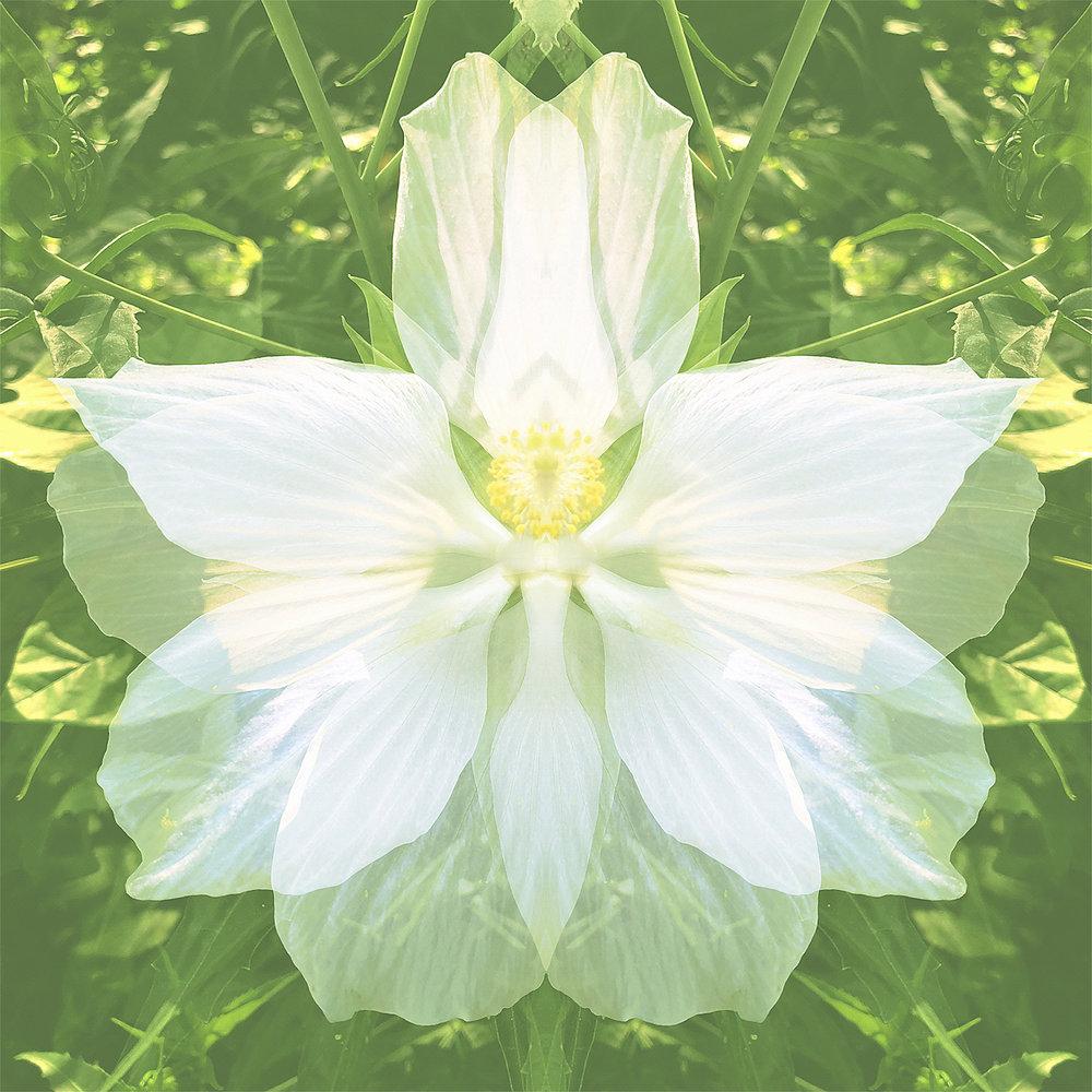 Hibiscus | Lime Essence