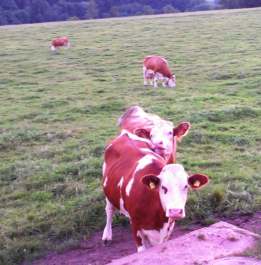 Rohn Mountain cows warily watch the road as Baldur drives by.
