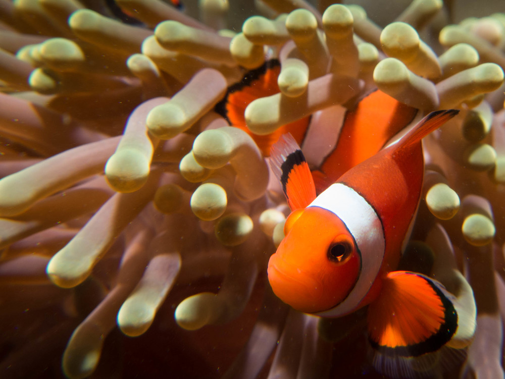 Clown Fish.jpg