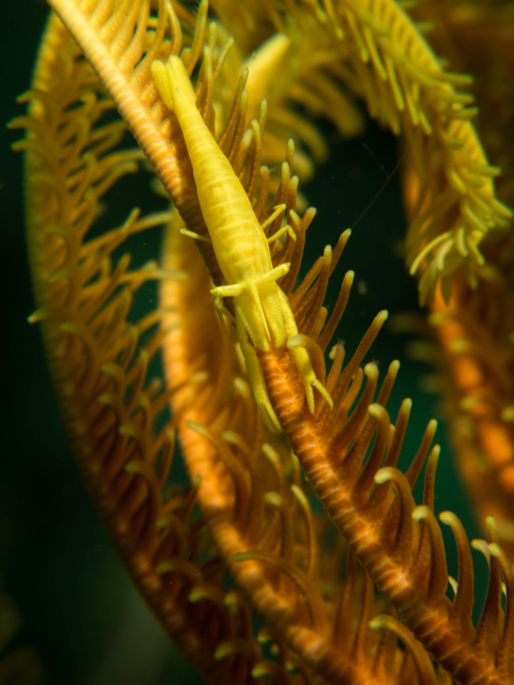 Crinoid Shrimp Yellow 3.jpg