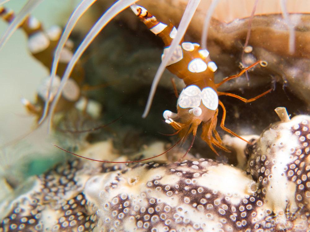 Sexy squat shrimp