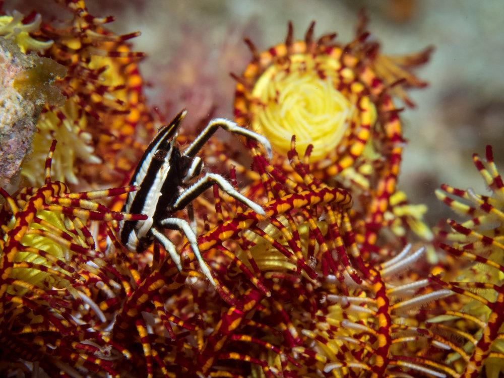 Crinoid squat lobster 3.jpg