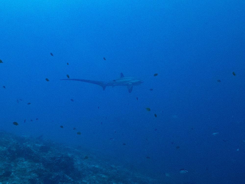 Thresher shark 2.jpg