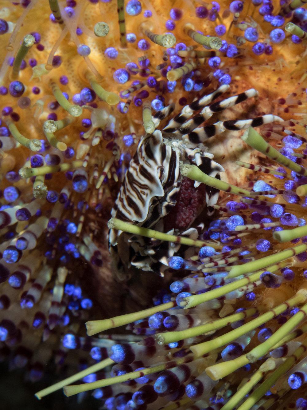 Zebra Shrimp on Fire Urchin w: eggs.jpg