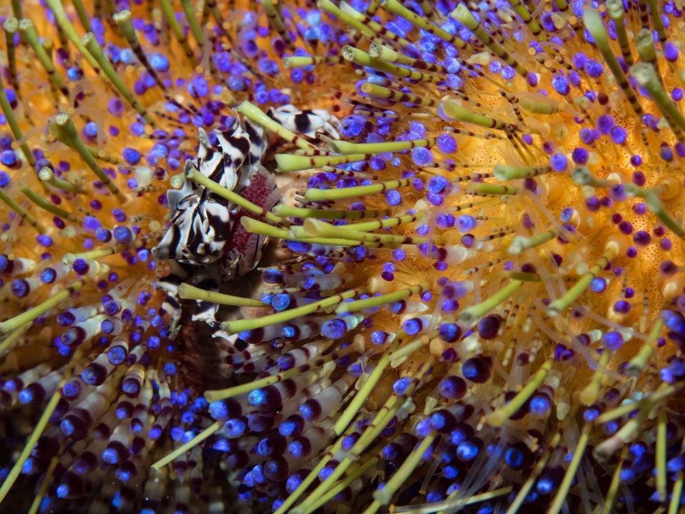Zebra Shrimp on Fire Urchin w: eggs 2.jpg