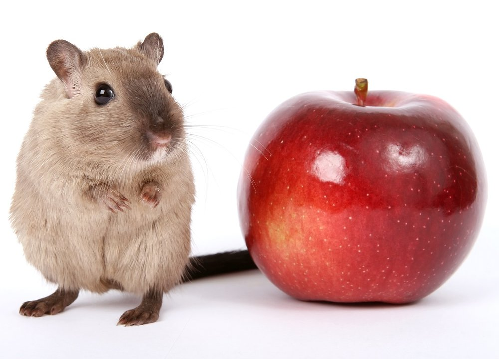 Intermittent fasting mouse