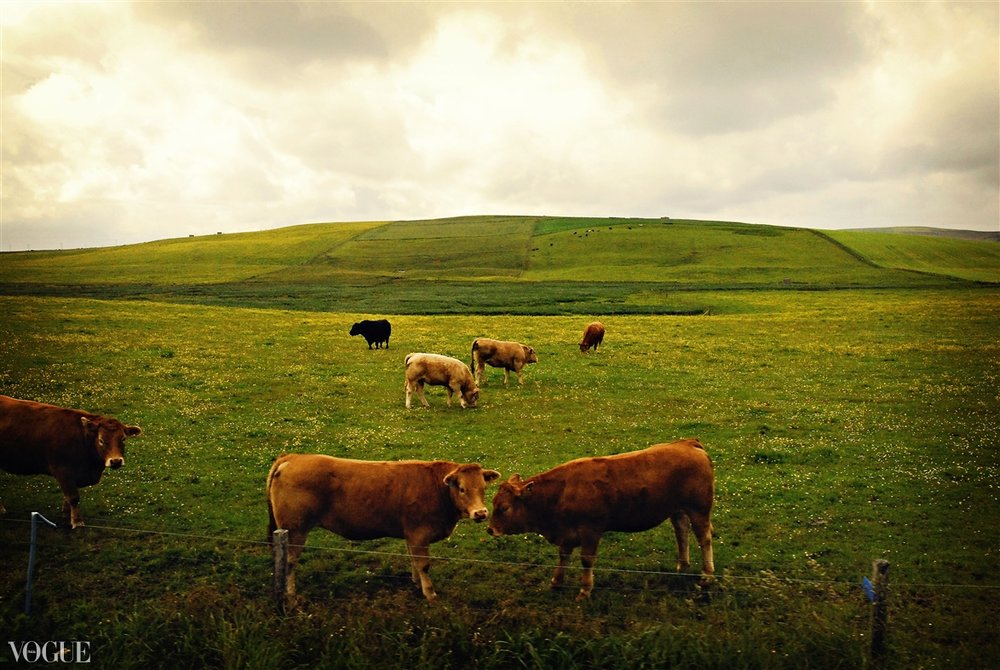 """Cows"" Orkney Isles, Scotland 2011"