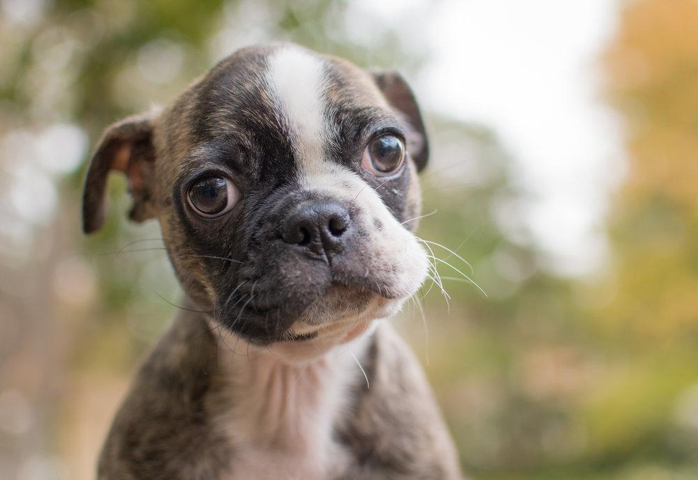 taz bugg pug boston terrier steve andel photography