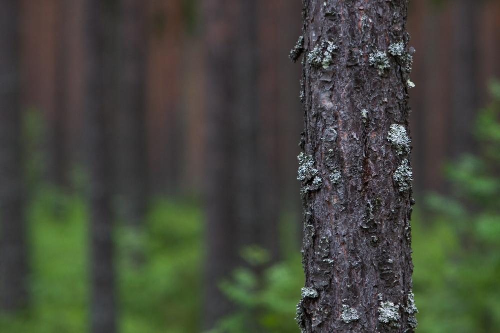 Tässä kuvattiin 200mm objektiivilla puunrunko n. 10m etäisyydeltä aukolla f / 4, jolloin tausta jää epäteräväksi.
