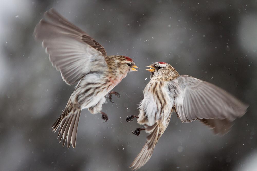 Lintujen liikken pysäyttäminen vaatii nopean suljinajan. Tässä tapauksessa suljinaika oli 1/2500.