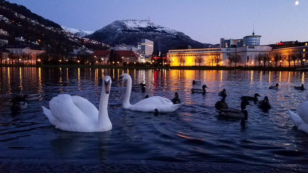Scenic swans
