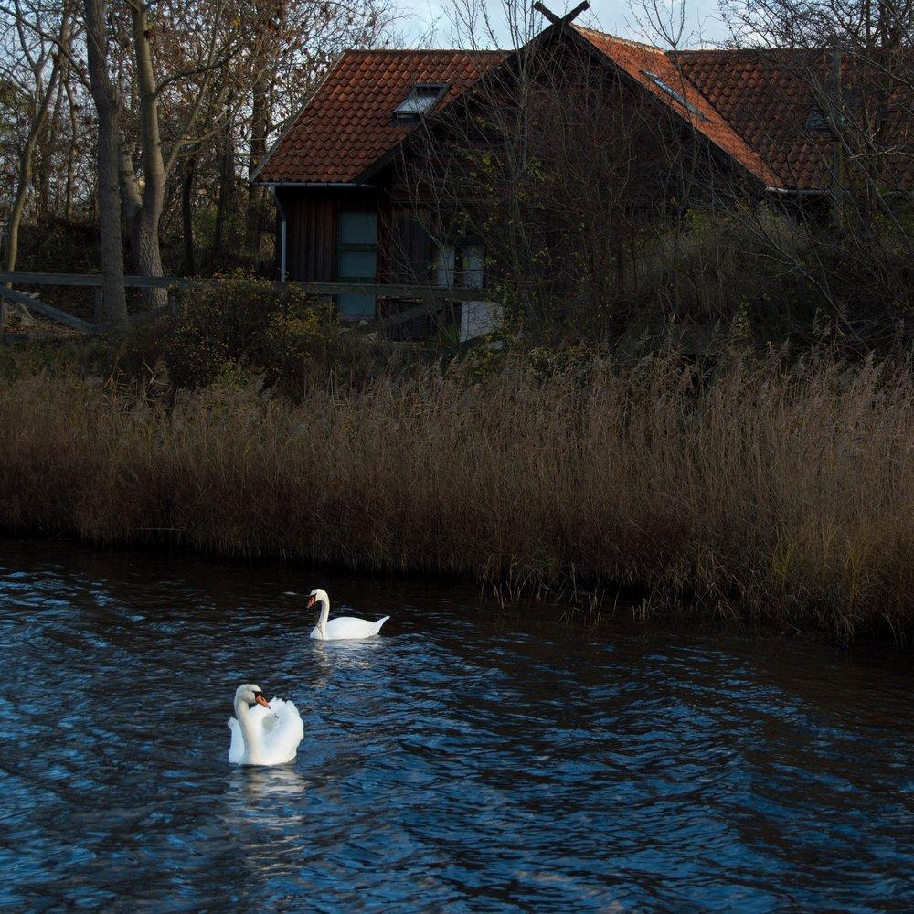Swams gliding outside of Christianshavn