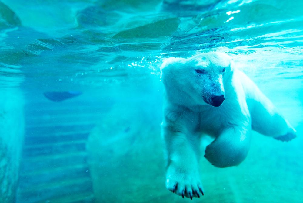 ours polaire a l'aquarium de quebec dans le secteur ste-foy a quebec - ete