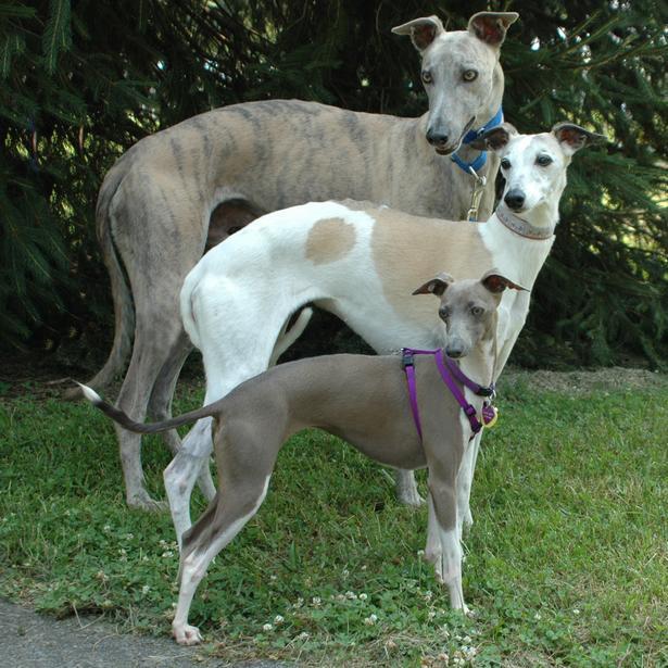 Tiniest: Italian greyhound, Middle: Whippet, Big boy: Greyhound
