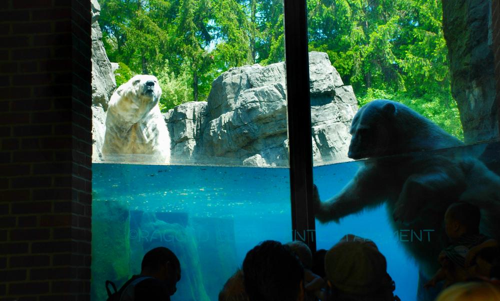 Polar BearsWM.jpg