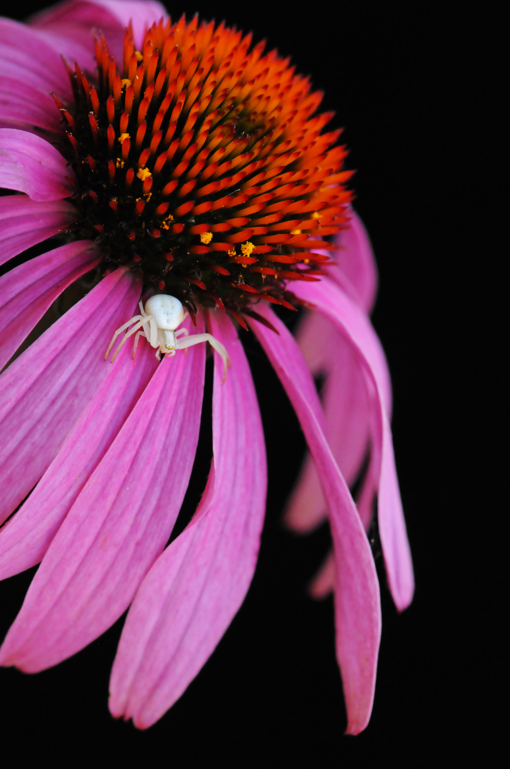 Goldenrod Crab Spider on Echinacea flower
