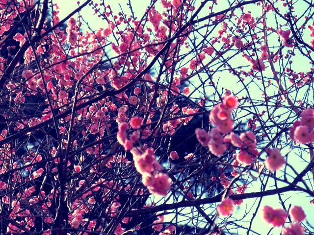 cherry+blossom.jpg
