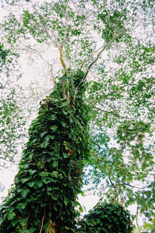 DREAMY TREES FILL AKAKA FALLS
