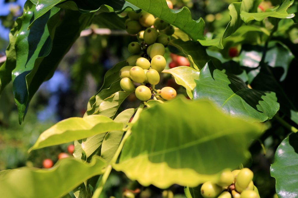 COFFEE BERRIES STARTING TO RIPPEN