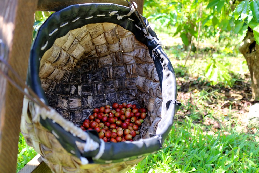 COFFEE BERRIES ARE ALL HAND-PICKED IN KONA, NO MACHINERY