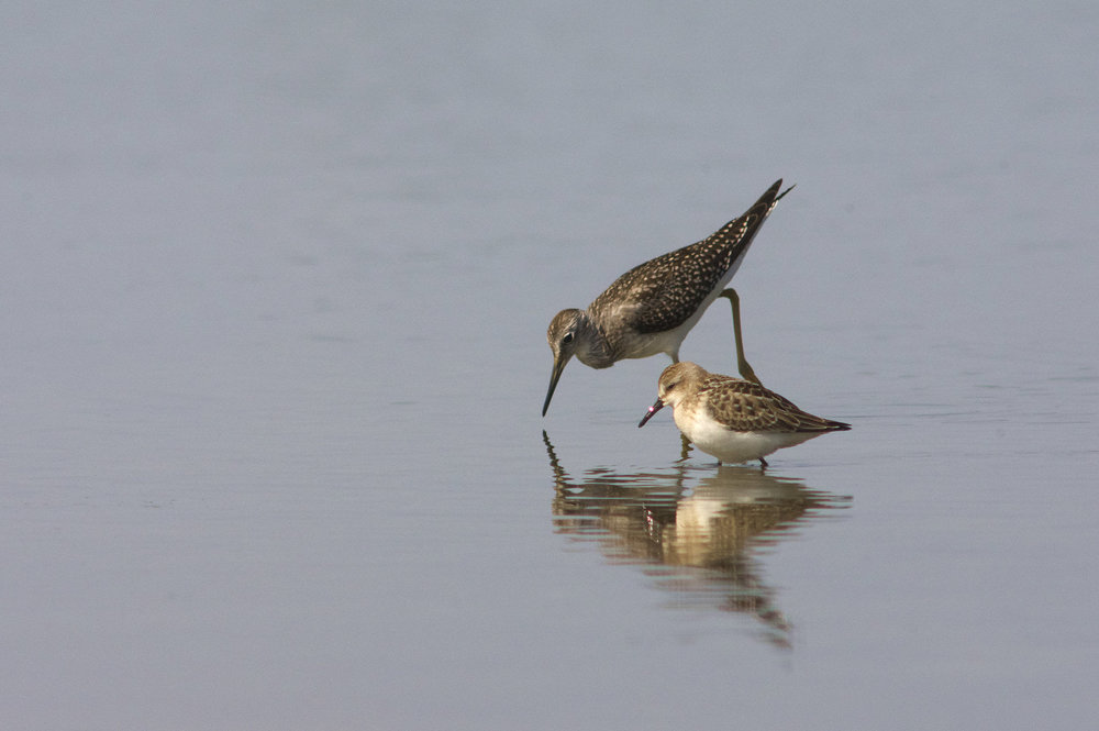 Lesser Yellowlegs & Semipalmated Sandpiper