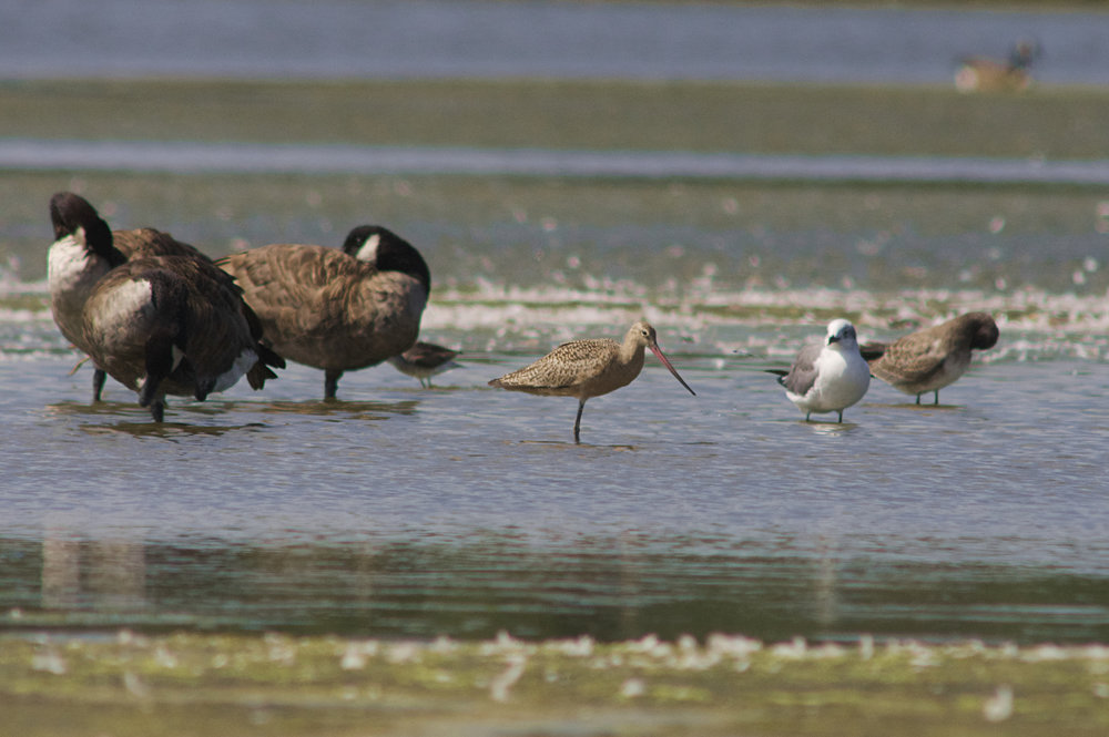 Marbled Godwit & Canada Geese