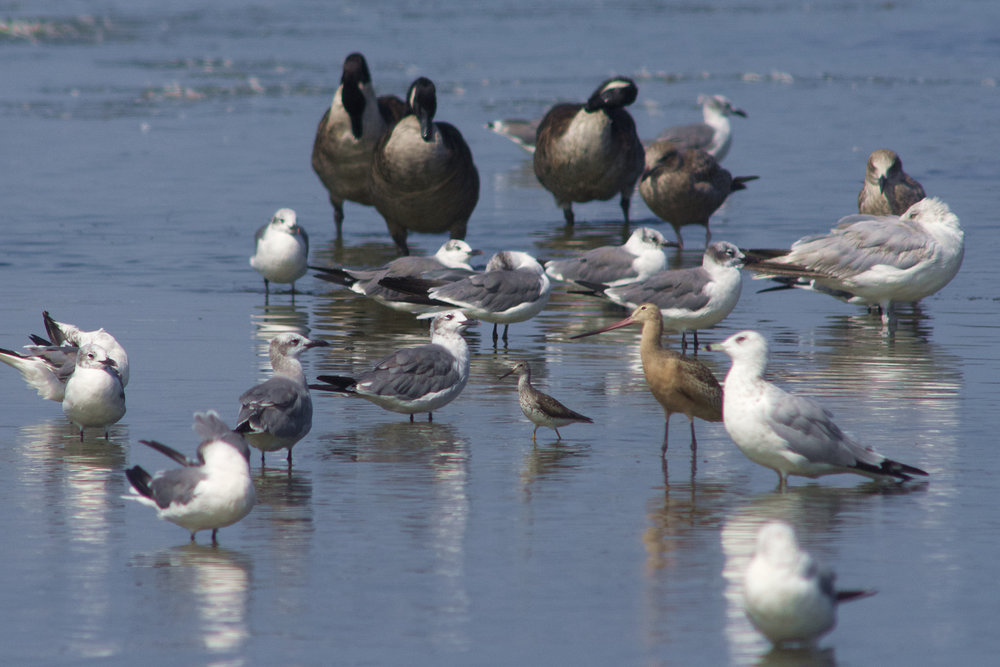 Gulls, Geese, Yellowlegs & Young Marbled Godwit
