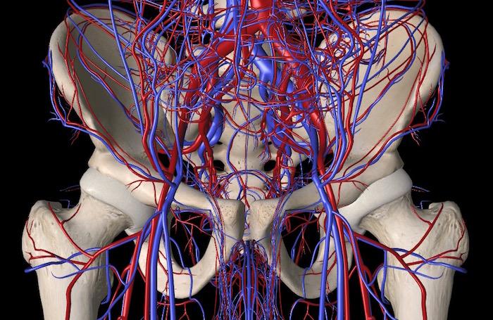 Adapted from Essential Anatomy 5 App 3D4Medical.com, LLC