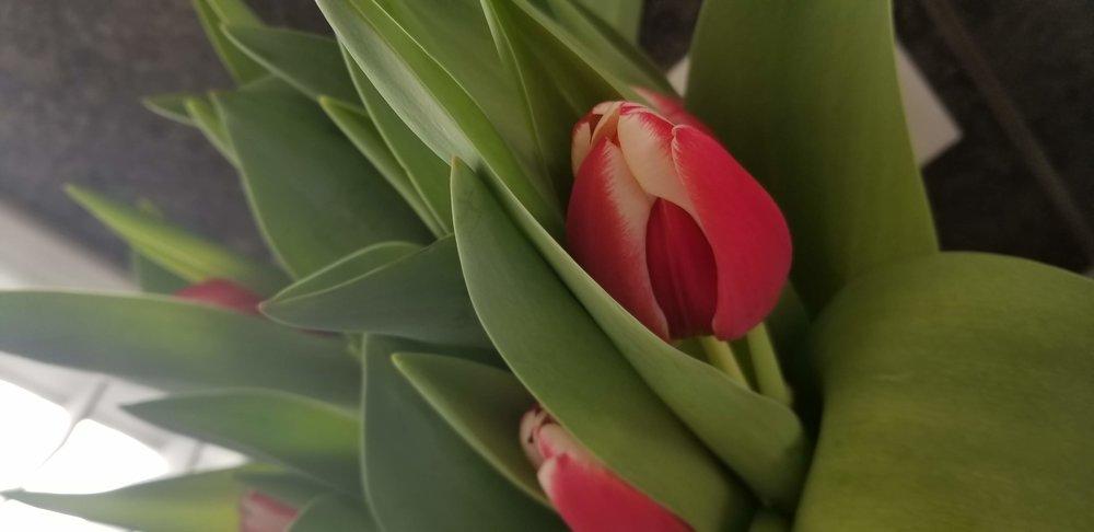 Tulips by Mona Olsen