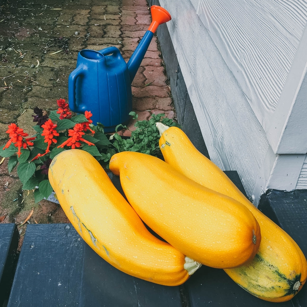 A few of our enormous yellow marrow, waiting to be used! We went away for a few weeks and welcomed our neighbours to pick and use them, to no avail. So here we are with loads of marrow to get creative with!