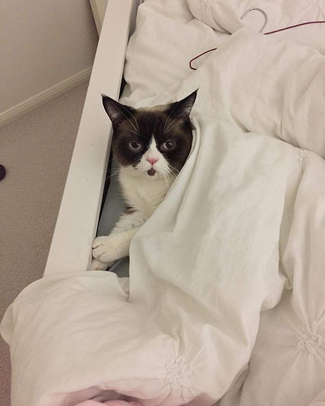 Riley's cat Frank is all of us on a Sunday morning ... .. .  #franktheboss #frankthecat #britishshorthair #grumpy #grumpycat #sundaymorning #catsinbed #catsinsinks #catsofinstagram #catstagram #instacat_meow #catsofig #britishshorthairsofinstagram #britishshorthairlovers #loveyourcat #loveyourkitten #brisbanecats #catsofbrisbane #sleepycat #cats_of_world #cats_of_instagram #catstuff #franktheladiesman