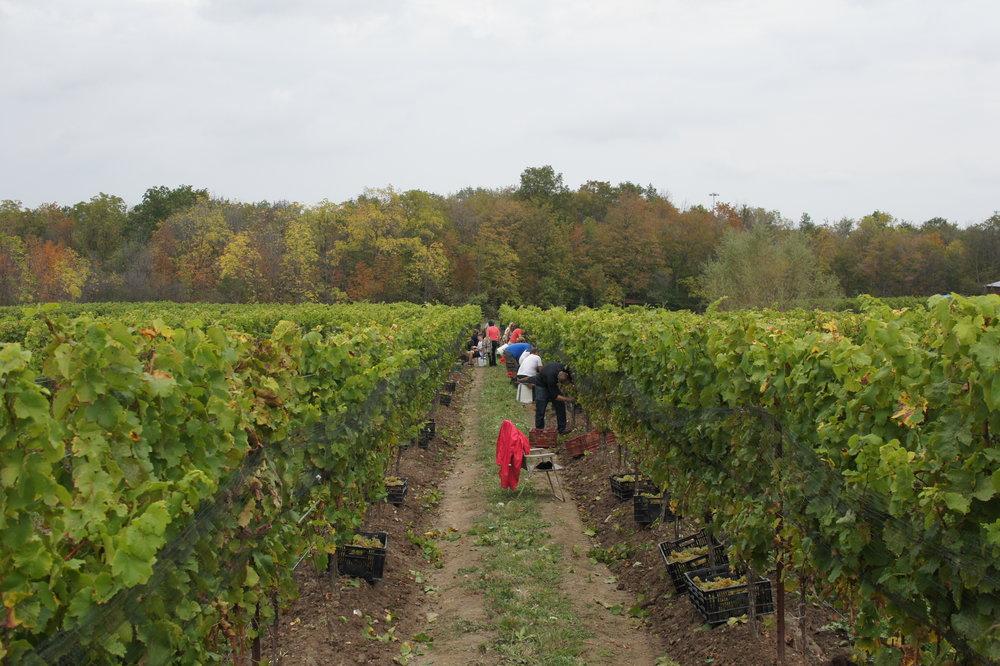 Vines02.JPG