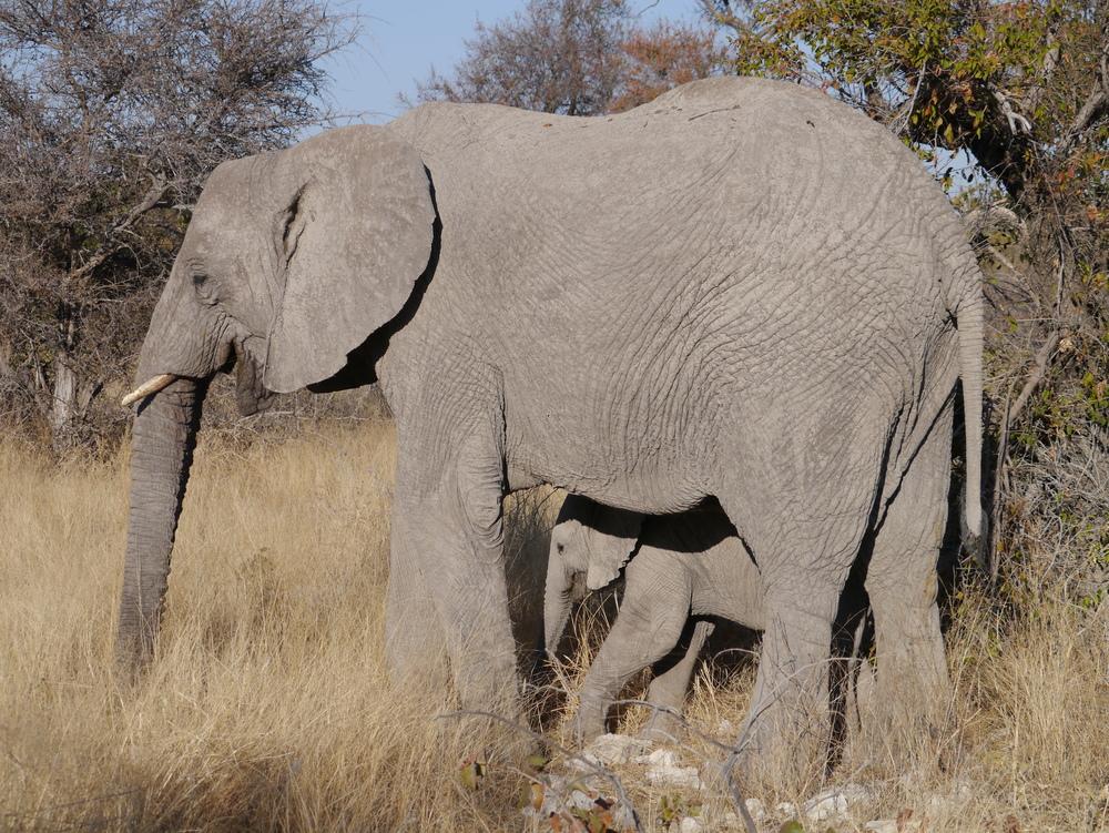 Animal, elephant, Etosha  (26).JPG