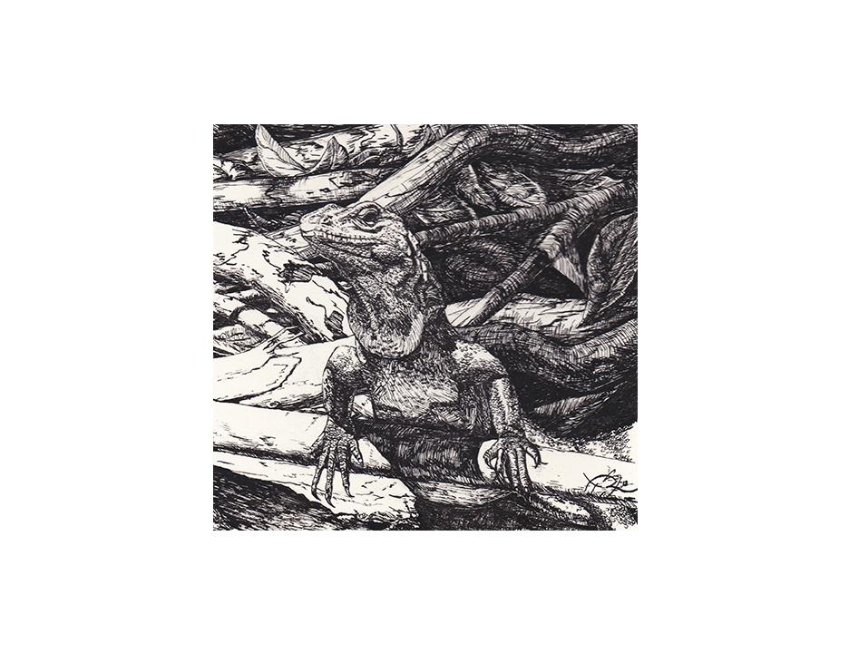 sunning iguana 2E.jpg
