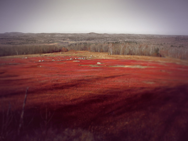 Photo of the Washington County blueberry barrens, taken by Aya Padrón.