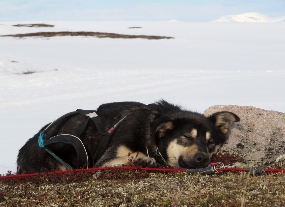 Husky in Lapland.JPG