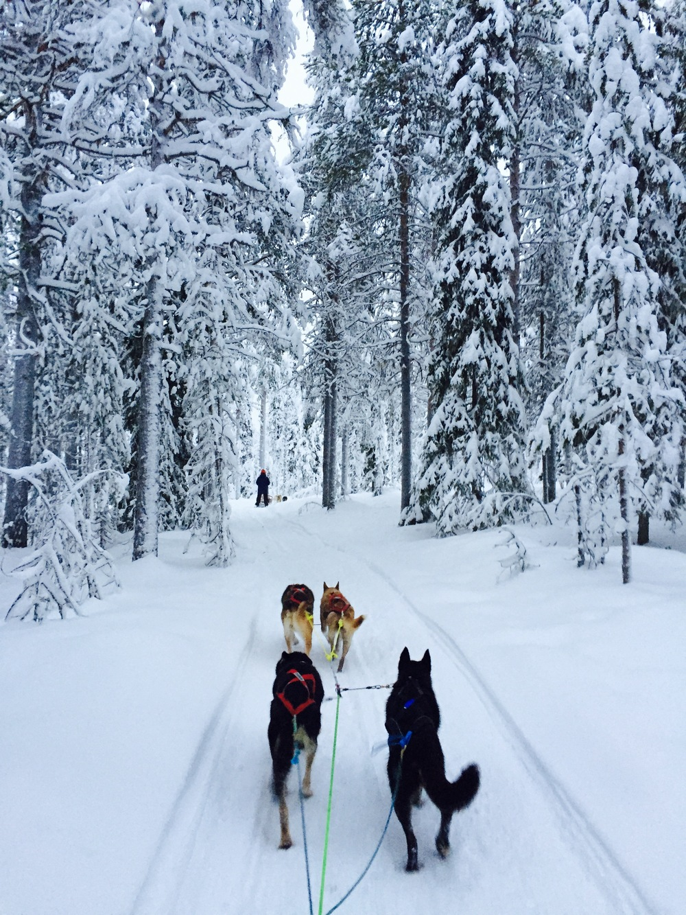 dogsledding in snowy taiga forest.jpeg