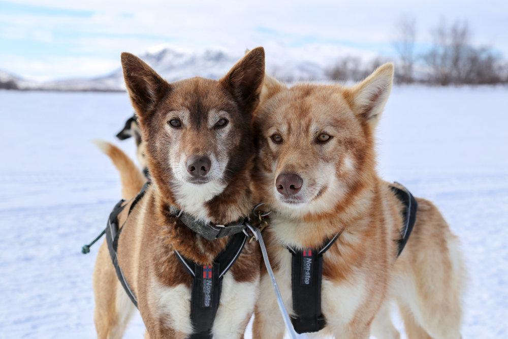 Alaskan huskies on multi-day husky adventure in Lapland.jpg