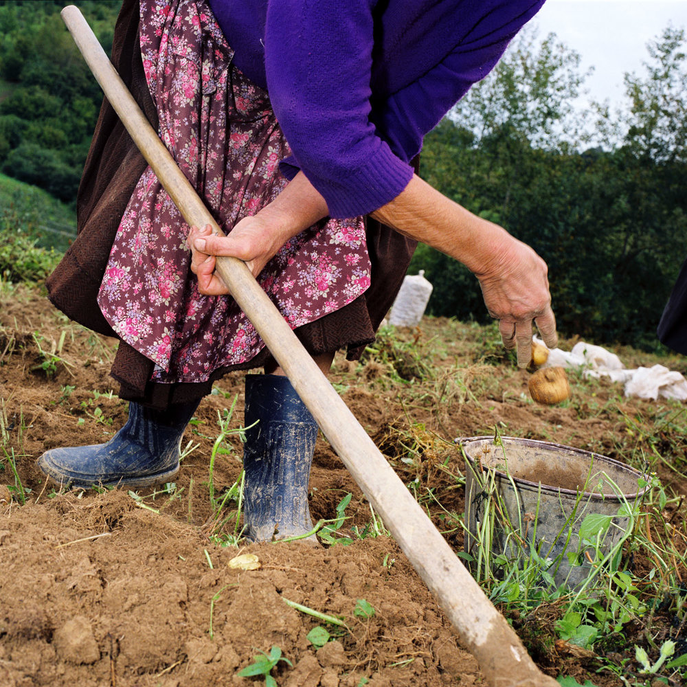 Harvesting Potatoes (2004)