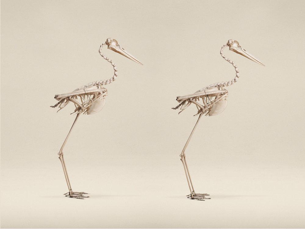 Black Stork (Ciconia Nigra), (2014)